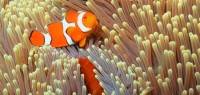 clown fish (nemo)