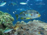 sweetlip reef fish